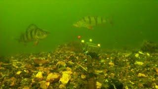 Снасть макушатник продержался около часа подводная сьемка Окуня красавчики