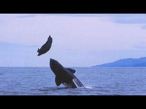 AMAZING KILLER WHALE ATTACK ON SEA LION