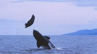 AMAZING KILLER WHALE ATTACK ON SEA LION