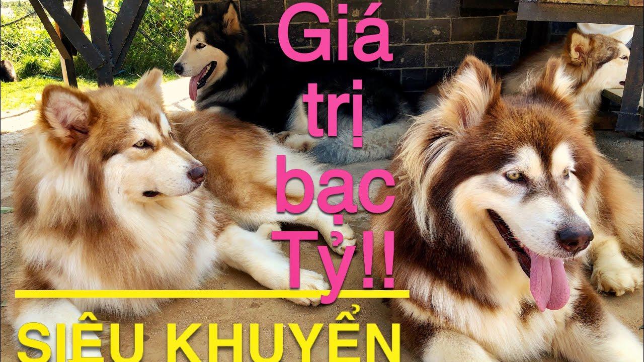 Trại nuôi Chó Bạc Tỷ ở Đà Lạt: Black Rock Garden | Alaska Dog in Da Lat