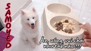 Một ngày của chó Samoyed diễn ra như thế nào? (Phần 1) - Samoyed dog