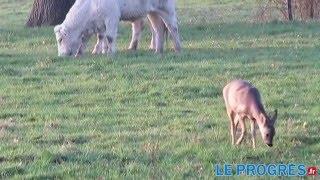 Bambi adopté par un troupeau de vaches  dans l'Ain