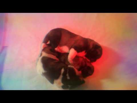 HUNDEWELPEN BABIES - New born American Akita Inu Puppies 6 day old