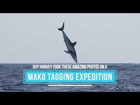 Shortfin Mako Shark - Big Jumps!