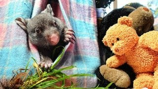 Wombat's Life Saved in Australia - Uplifting Animal Story