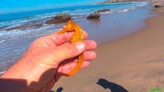 Желто-оранжевый морской конек