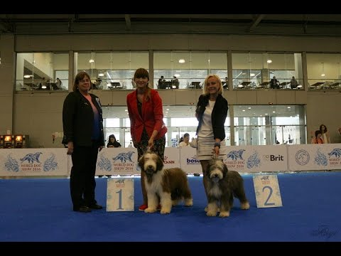 WDS Moscow 2016 Bearded Collie