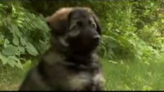 The Dog Breed German Shepherd Alsatian Deutscher Schäferhund Popular Dogs Breed