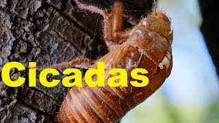 Video Top 5 AMAZING Facts about Cicadas | Cicada Bug Facts | 2017 |  TheCoolFactShow EP1 download MP3, 3GP, MP4, WEBM, AVI, FLV November 2017