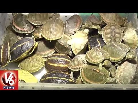 Couple Caught Smuggling Rare Species Of Tortoise In Uttar Pradesh | V6 News