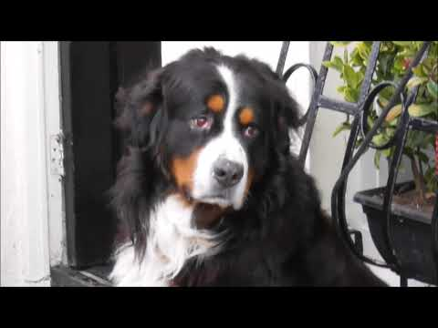 Beautiful Bernese Mountain Dog Buncrana