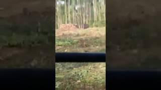 harimau merayap di kawasan pembalakan malaysia