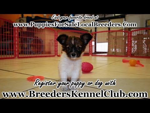 Papillon PUPPIES FOR SALE GEORGIA LOCAL BREEDERS