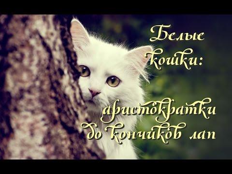 Белые кошки аристократки до кончиков лап