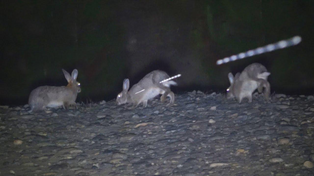 Cacería de Conejos Con PR900 Y Escopeta! Noche de Caza en Tanhuao   PCP