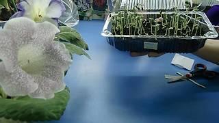 видео Гайлардия - выращивание из семян. Астровые: фото цветка