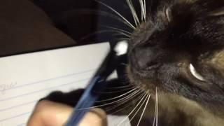 Коты – это гангстеры животного мира  =^..^= СИАМСКИЕ КОШКИ