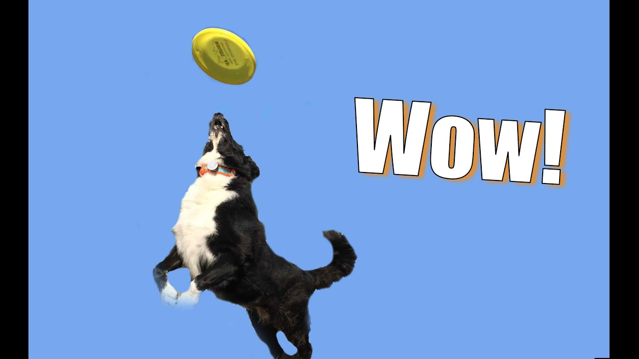 Go To The Next Level: Teach Your Dog To Be A Frisbee Superstar!  Youtube