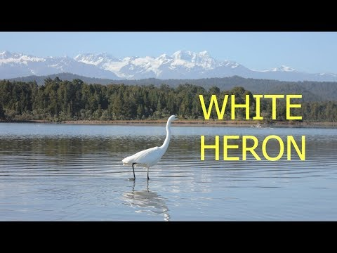White Heron at Okarito Lagoon