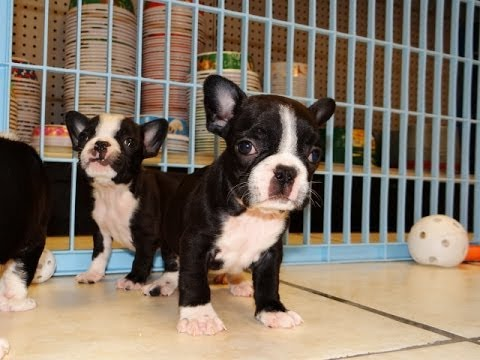 Frenchton Puppies Dogs For Sale In Columbia South Carolina Sc Mount Pleasant Sumter