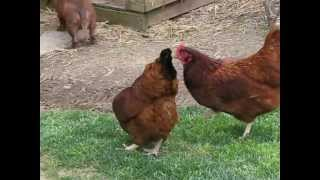 """The Adventures Of Zoe The Dachshund - """"zoe, Chickens & The Human Feet"""""""