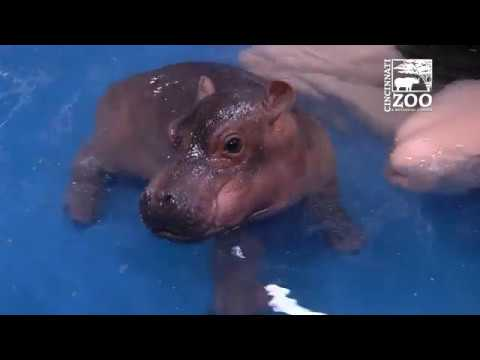 Baby Hippo Fiona - Episode 3 Bigger & Better - Cincinnati Zoo