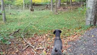 Standard Poodle Dog Pointing, Stalking, Hunting and Chasing Squirrels, Groundhog and Deer