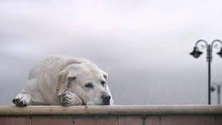 Верные собаки как Хатико! ОЧЕНЬ ГРУСТНАЯ РЕАЛЬНАЯ ИСТОРИЯ!!!