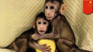 Monkey clones: China clones two monkeys using same technique that made Dolly the Sheep - TomoNews