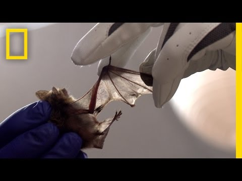 Special Bacteria Helps Heal Sick Bats | National Geographic