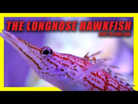 THE LONGNOSE HAWKFISH! REEF SAFE!