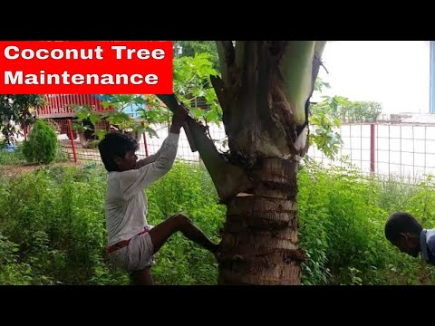 Coconut Tree Maintenance || Taking Care of Coconut Tree || Coconut Tree Trimming || Coconut Pulm