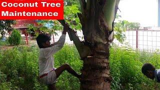 Coconut Tree Maintenance || Taking Care of Coconut Tree || Coconut Tree Trimming || Coconut Pulm