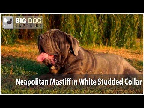 "Awesome Neapolitan Mastiff in ""White Trendy"" Super Stylish Dog Collar"