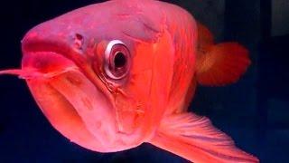 Ikan Arwana Termahal Super Red Rp 500 Juta