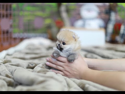 True Teddy Bear Face Pomeranian ~* Teacup Puppie