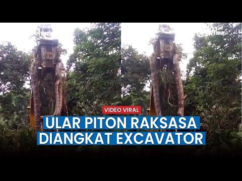 Viral! Video Penampakan Ular Piton Raksasa 10 Meter Diangkat Excavator Di Tengah Hutan Gemparkan War