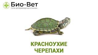 Красноухие черепахи. Ветеринарная клиника Био-Вет.