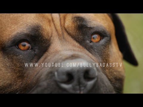 THE BOERBOEL A MASTIFF DOG BRED TO DO BATTLE WITH AFRICAN LIONS