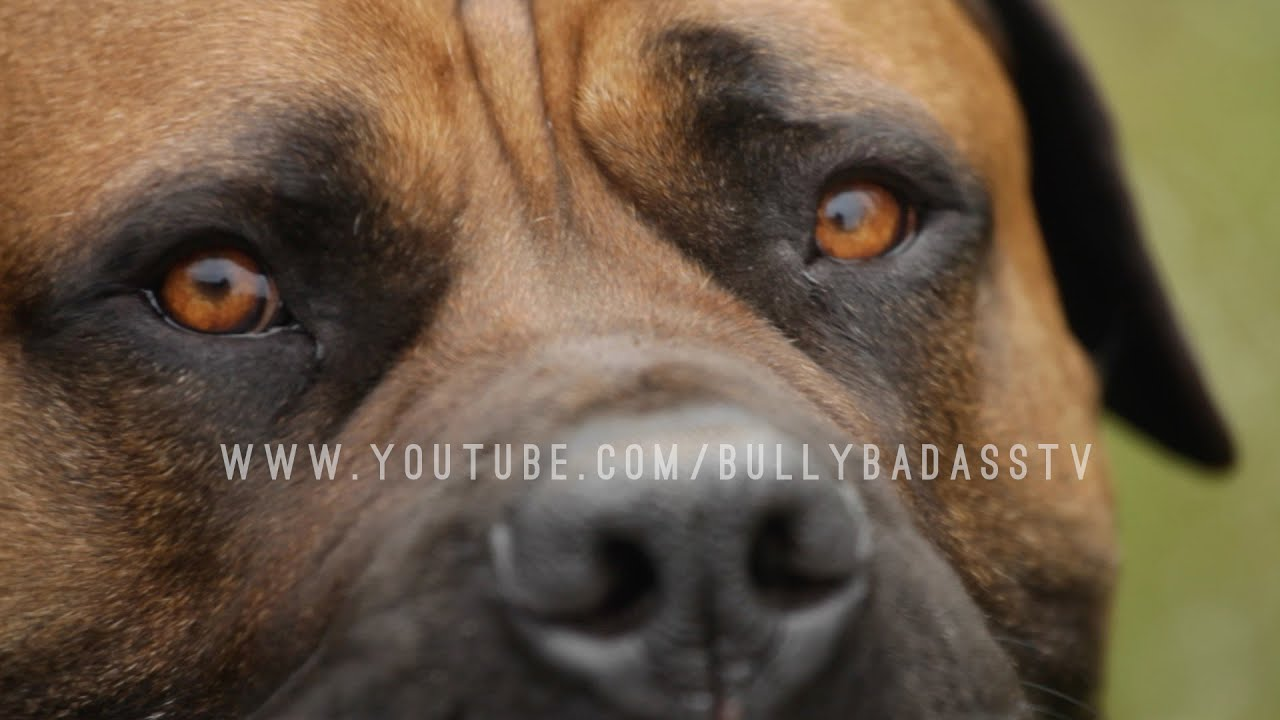 Boerboel A Mastiff Dog Bred To Do Battle With African Lions Youtube