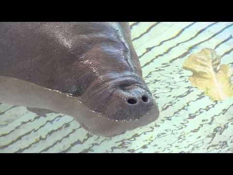 SeaWorld Orlando Caring for Male Manatee Rescued South of Jacksonville, Florida