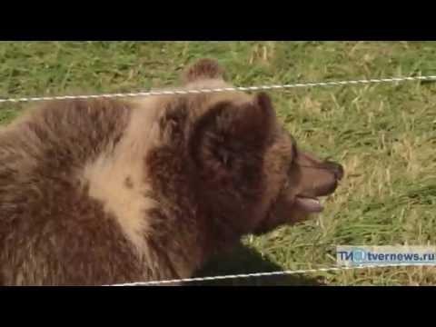 видео: На аэродроме в Тверской области приютили осиротевшего медвежонка