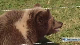 На аэродроме в Тверской области приютили осиротевшего медвежонка
