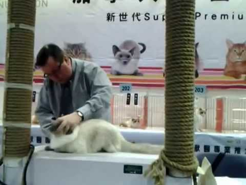 Ling's Ragdoll baby Xiaohui in the cat show on 2/2/2013