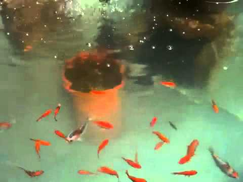 Koi Fish And Gold Fish Stock Tank Garden Pond Youtube