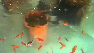 Koi fish and Gold fish stock tank garden pond
