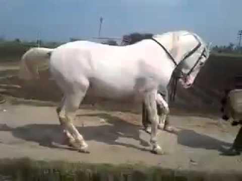 Cel mai tare cal dansator 20016