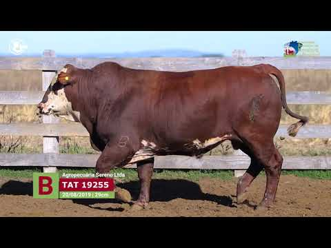 Touro 19255 - Agropecuária Sereno Ltda