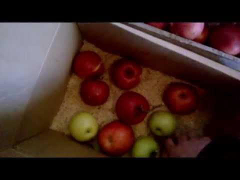 Как правильно, и на долгий срок сохранить яблоки зимой?