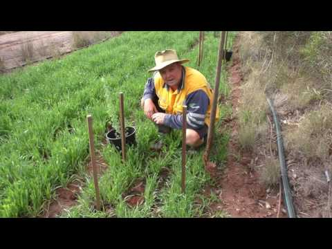 Planting Tagasaste at Baraka to hedge the Southern and Eastern fenclines Sep 16